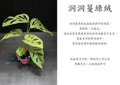 心栽花坊-洞洞蔓綠絨/3吋盆/觀葉植物/室內植物/綠化植物/售價60特價50