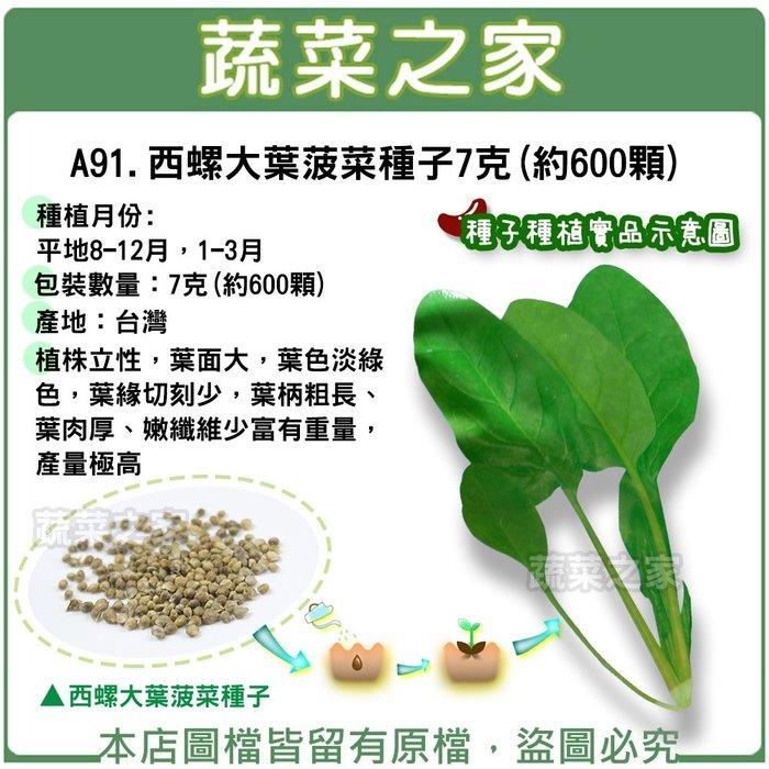【蔬菜之家】A91.西螺大葉菠菜種子7克(約600顆)(植株立性,葉面大,葉色淡綠色,葉緣切刻少,葉柄粗長、葉肉厚)