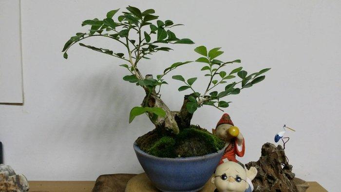 台中瘋小品-小品盆栽-七里香-1-特價