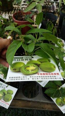 ╭*田尾玫瑰園*╯新品種水果苗-(寶貝奇異果)高10cm400元