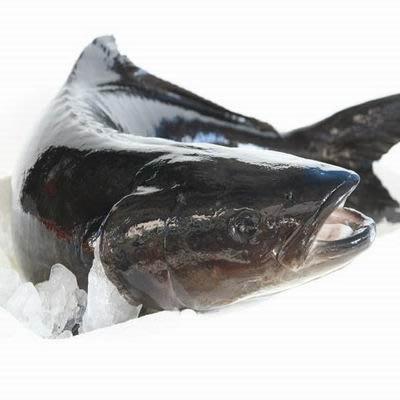 【澎湖養殖活海鱺魚-整尾-約6-9kg/尾-約12斤/組】新鮮魚貨乾淨處理產地直送(秤重計價)-2501003