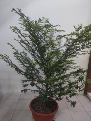 紅豆杉 (一尺盆,實生苗)