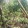 春花園藝行 白水木