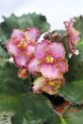 堤緣花語陶-淨化室內空氣植物-非洲紫羅蘭 Leprechaun's Frolic