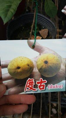 ╭*田尾玫瑰園*╯新品種樹種-(度古)高20cm800元