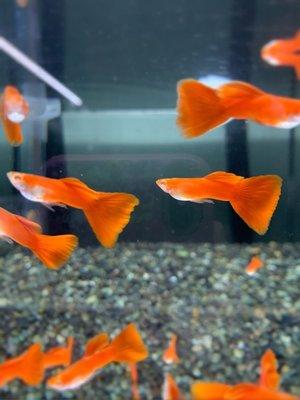 🐠🐠牧 谷 牧 魚🐠🐠 全紅白子 紅白 孔雀魚