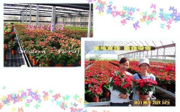 8寸 聖誕紅 盆栽 批發 產地直銷 聖誕紅 聖誕佈置