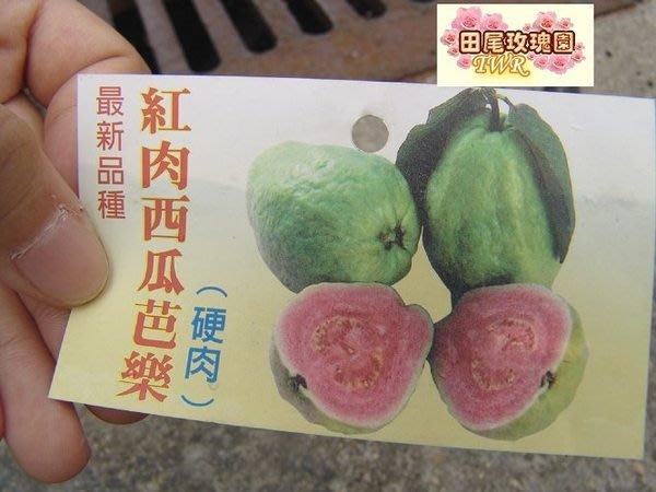 ╭*田尾玫瑰園*╯新品種果苗-(紅肉西瓜芭樂)移植袋高2尺350元-已會結果