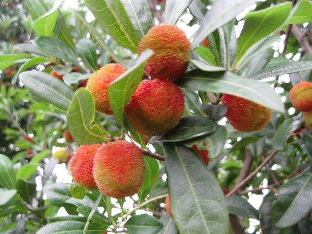 (青山園藝).大果楊梅.大果品種.      波蘿蜜樹葡萄橄欖油柑梔子含笑桂花真柏
