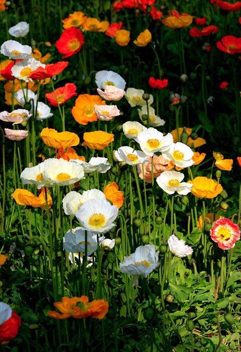 【小鮮肉肉】冰島虞美人 花卉種子30粒裝 庭院陽臺盆栽皆可種植 花期長 四季易活易種
