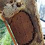 【臺一養蜂園】 崙背農會養蜂產銷班 龍眼蜂巢蜜500g.天然口香糖 專賣花粉蜂蜜蜂王乳蜂蜜醋蜜蠟蜂膠