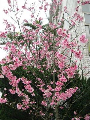(青山園藝)八重櫻.吉野櫻.米俓10~15cm.高度3~6米.自然原樹型.