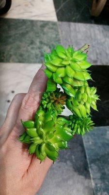多肉植物系列--5頭小蓮花**(仿真人造)