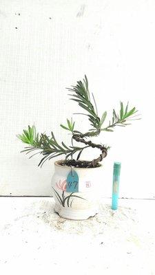 **大自然盆栽園**雀舌羅漢松--療癒小品--47