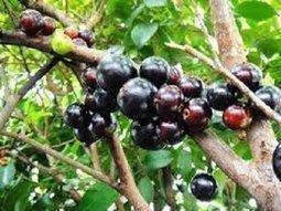 樹葡萄 __ 嘉寶果 : 超優質高經濟果樹苗 ; 經篩選培育, 無毒安全可靠 (各型尺寸/品種) , 量大另有優惠 ~