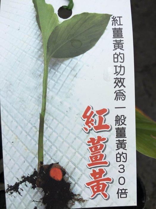 ╭*田尾玫瑰園*╯藥用植物-(紅薑黃)4吋高40cm200元
