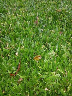 元茂園藝-豪宅別墅用高品質草皮草毯 十坪五千元 漂亮的草不便宜 便宜的草不漂亮 歡迎訂購 桃園地區皆可外送,地毯草、假儉草、台北草 密度高少雜草