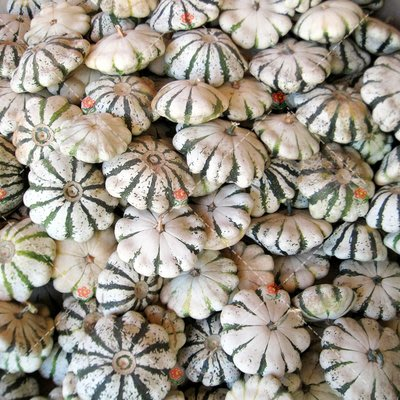 【小鮮肉肉】玩具南瓜種子-稀奇(飛碟型白底綠條紋)(5粒裝) 可食用 庭院陽台易種