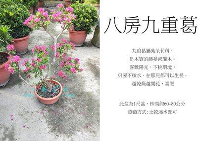 心栽花坊-八房九重葛/日本九重葛/造型樹/盆景/開花植物/售價1200特價1000