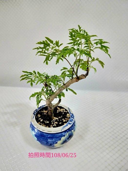 易園園藝- 羽葉福祿桐樹F45(福貴樹/風水樹)室內盆栽小品/盆景高約18公分
