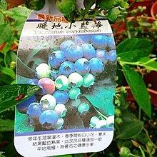 水果苗 ** 暖地小藍莓 ** 6吋盆/高20-35cm/平地可種【花花世界玫瑰園】R