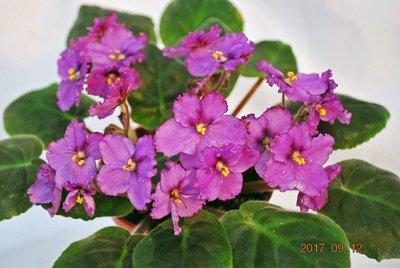堤緣花語陶-淨化室內空氣植物-非洲紫羅蘭 Optimara New Mexico