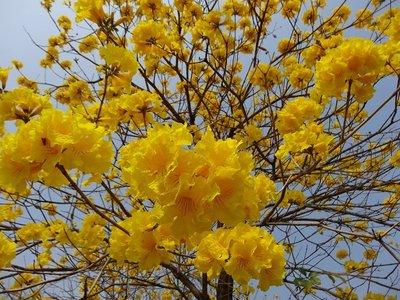 S-015【種子盆栽】黃花風鈴木(季節限定)種子35顆30元。別名:黃金風鈴木
