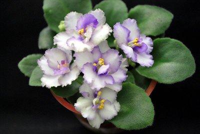 堤緣花語陶-淨化室內空氣植物-非洲紫羅蘭 Rob's Ice Ripples