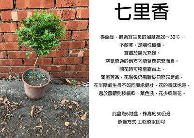 心栽花坊-細葉七里香/七里香//棒棒糖造型/6吋盆/造型樹/香花植物/綠化植物/綠籬植物/售價180特價150