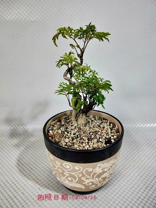 易園園藝- 羽葉福祿桐樹F39(福貴樹/風水樹)室內盆栽小品/盆景高約30公分