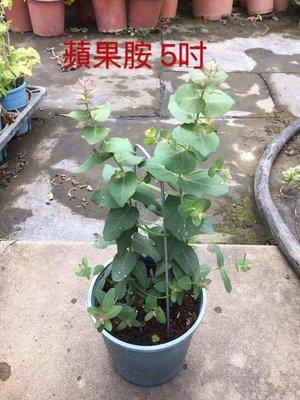 香草.喬木~蘋果胺(尤加利)-5吋/高15-25公分-精油.驅蚊-花精靈植物的家