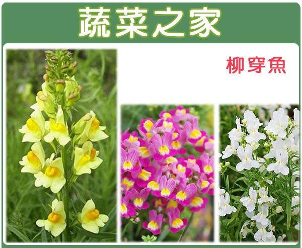 【蔬菜之家】H28.柳穿魚種子50顆(混合色,高60cm.花卉種子)