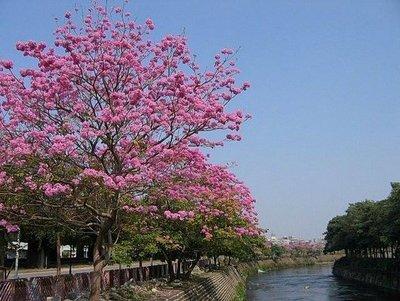 洋紅風鈴木/黃花風鈴木(6cm)非台灣山櫻花/羅漢松