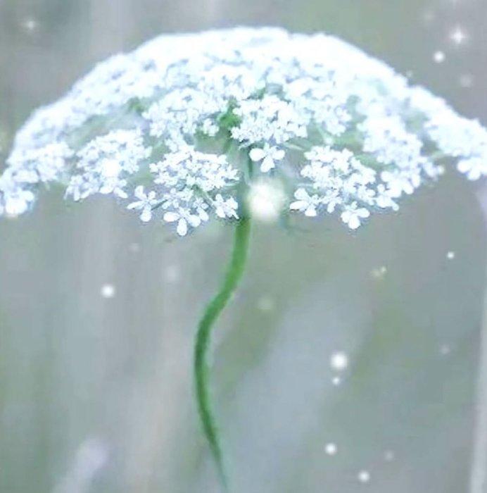 【小鮮肉肉】白雪花 蕾絲花 阿米芹 種子10粒裝 一年生花卉種子 花朵大可作切花