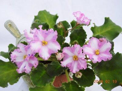 堤緣花語陶-淨化室內空氣植物-'Tiyuan's capricious lady' 千面女郎[台灣育種]
