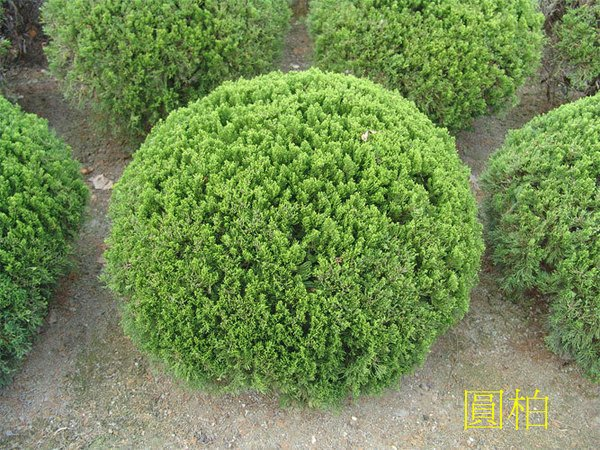 ╭*田尾玫瑰園*╯ 庭園用樹-(球型龍柏)40*40cm1000元