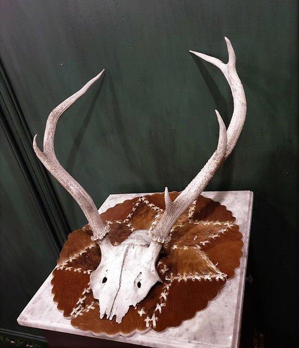 【卡卡頌 歐洲古董】德國老件~  個性  鹿角  動物  標本  頭骨  掛飾  Deco ss0619