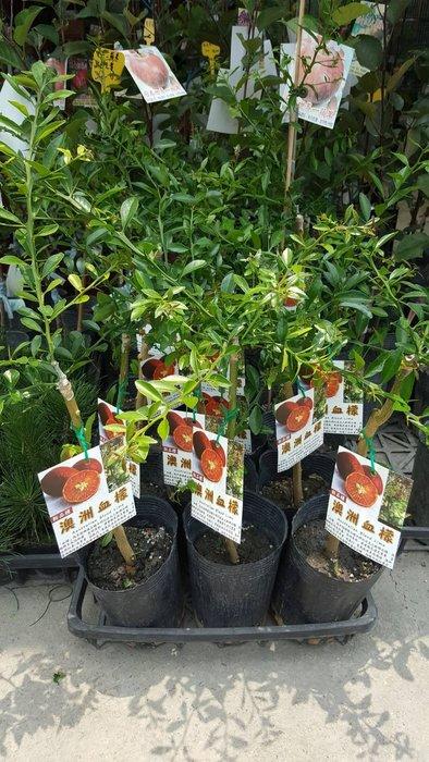 ╭*田尾玫瑰園*╯新品種樹種-(澳洲血檬)高50cm650元