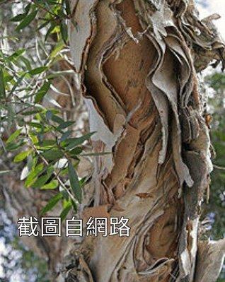 哇沙米園藝¥(10棵=$300)白千層樹苗  高60公分,一箱可裝40棵。