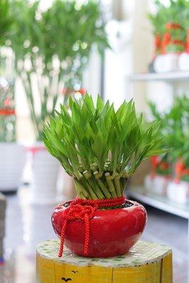 【綠風園藝~ 開運竹 宅配】小紅缸螺旋開運竹【送禮盆栽】04