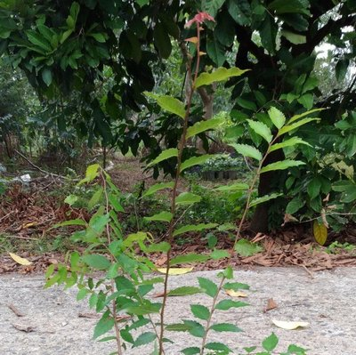 台灣櫸木(雞油)  40棵=$1200高60公分以上,造林首選優良樹。一箱可入40棵。