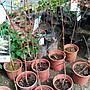 ╭☆東霖園藝☆╮落葉喬木(燈台樹) 稀有樹種