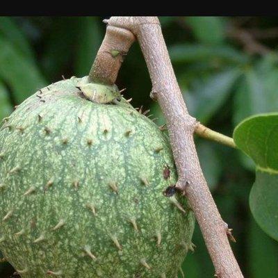山刺番荔枝(2棵=$100)(羅李亮果)  實生苗高40公分,果可食 一箱可入30棵。