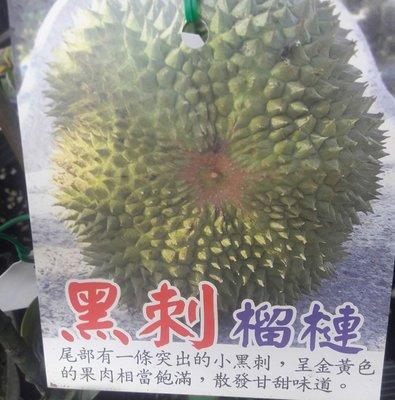 水果苗 ** 黑刺榴槤** 4吋盆/高10-30cm/ 改良種【花花世界玫瑰園】WU