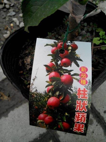 ╭*田尾玫瑰園*╯水果苗-(柱狀蘋果)