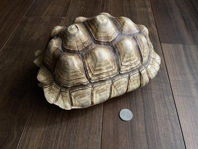 蘇卡達象龜 龜殼標本 高級居家 博物館擺設