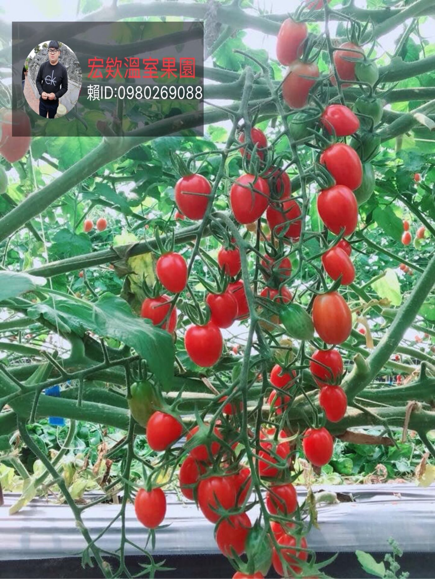宏欸溫室果園:玉女小蕃茄❤️歡迎詢問