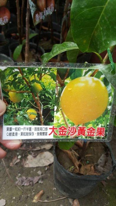 ╭*田尾玫瑰園*╯水果苗-(大金沙牛奶果)4吋40cm650元