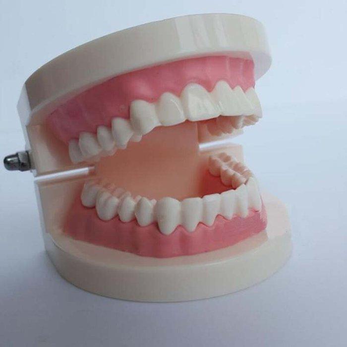 【奇滿來】1:1 牙齒模型 齒模 模型 (無牙縫)  保母術科 證照 考試 口腔清潔 兒童 教學 練習 刷牙  ARBV