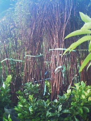 *~*台灣農業園藝*~*樹葡萄成樹.17年生.已會開花...歡迎蒞臨鑑賞